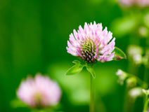 Beautiful flower on clover in nature Royalty Free Stock Images