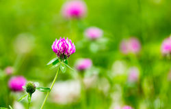 Beautiful flower on clover in nature Royalty Free Stock Photo