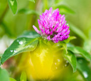 Beautiful flower on clover in nature Stock Photo