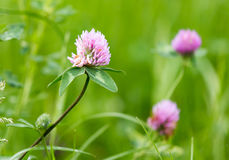 Beautiful flower on clover in nature Royalty Free Stock Photography