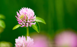 Beautiful flower on clover in nature stock photos