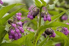 Flower comfrey blooming in a field. Beautiful flower comfrey blooming in a field or a meadow Royalty Free Stock Photography