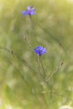 Beautiful flower cornflower with bee on a meadow Stock Image