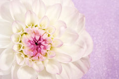 Beautiful flower dahlia Royalty Free Stock Photo