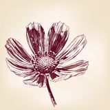 Beautiful Flower daisies  vector illustration. Daisies hand drawn vector llustration realistic sketch Royalty Free Stock Images
