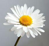 Beautiful flower daisy. On white background Royalty Free Stock Photo