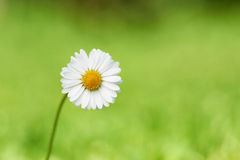 Beautiful flower daisy on green background Stock Photos