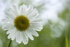 Beautiful flower daisy Leucanthemum after rain on blurred gree Stock Photos