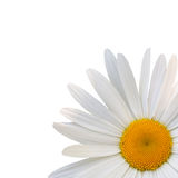 Beautiful flower daisy Stock Images
