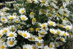 Beautiful flower daisywheel on field Royalty Free Stock Photo