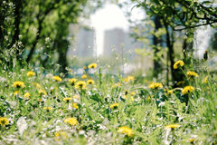 Beautiful flower dandelion and green grass in the city sunny day Royalty Free Stock Image