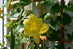 Beautiful flower of day lily in small urban garden on the balcony.  stock photo