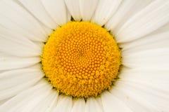Beautiful chamomile, close-up. Beautiful flower of decorative camomile, macro Royalty Free Stock Image
