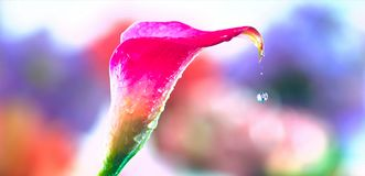 Beautiful flower and a drop of water royalty free stock photography