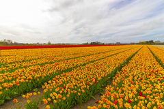 Beautiful flower field in spring time in The Netherlands Stock Image
