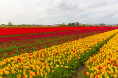 Beautiful flower field in spring time in The Netherlands Stock Photography