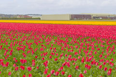 Beautiful flower field in spring time in The Netherlands royalty free stock images