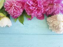 Beautiful flower fresh peonies blossom greeting a blue wooden background, summer frame. Beautiful flower fresh peonies a blue wooden background, summer frame royalty free stock images