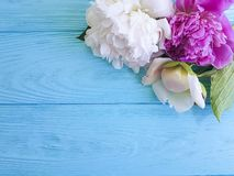 Beautiful flower fresh peonies romance blossom bridal card a blue wooden background, summer frame. Beautiful flower fresh peonies a blue wooden background stock photography