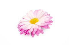 Beautiful flower. Beautiful fresh flower petals close up isolated on white background Royalty Free Stock Photos