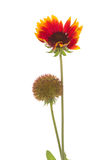 Beautiful flower Gaillardia Royalty Free Stock Photography