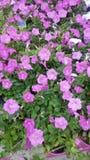 Beautiful flower. Garden stock photos