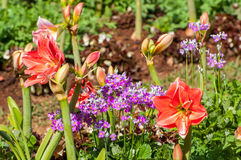 Beautiful flower in garden Royalty Free Stock Images