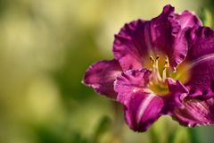Beautiful Flower in the garden Royalty Free Stock Photography