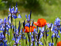 Beautiful Flower Garden. Colorful flowergarden in Sweden with red and blue flowers Stock Images