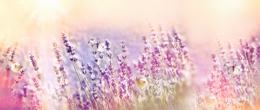 Beautiful flower garden - lavender garden and white butterflies Royalty Free Stock Image