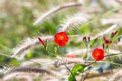 Beautiful flower in garden. maehongson Royalty Free Stock Photos