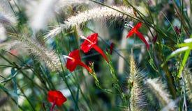 Beautiful flower in garden. maehongson Royalty Free Stock Photo