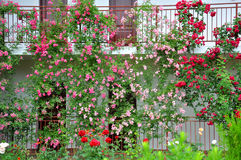 A beautiful flower garden of roses royalty free stock image