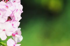 Beautiful Flower in the garden Royalty Free Stock Images