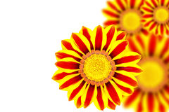 Beautiful flower Gazania Royalty Free Stock Photography