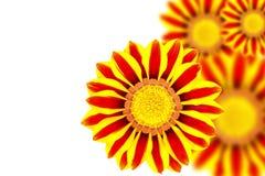 Beautiful flower Gazania Royalty Free Stock Photography