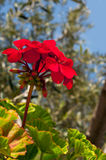 Beautiful flower geranium in the sunlight Royalty Free Stock Photos