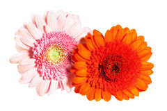 Beautiful flower gerbera royalty free stock images