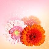 Beautiful flower gerbera Royalty Free Stock Photos