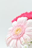 Beautiful flower. (Gerbera) Royalty Free Stock Images
