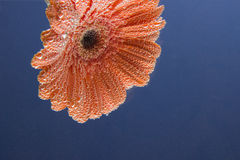 Beautiful flower Gerbera orange coated air bubbles on a blue bac Stock Image