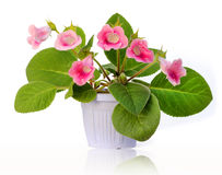 Beautiful flower gloxinia in pot isolated Royalty Free Stock Images