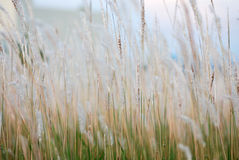 Beautiful flower grass background Royalty Free Stock Images