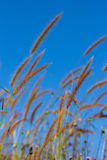 Beautiful flower grass on blue sky Royalty Free Stock Images