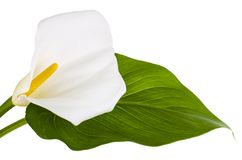 Beautiful flower and green leaf calla isolated on white background. Studio Photo royalty free stock images