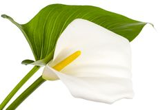 Beautiful flower and green leaf calla isolated on white background. Studio Photo royalty free stock image