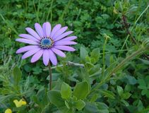 Flower light blue daisy chamomile and green plants royalty free stock image