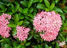 Fresh Pink Ixora Flowers in A Garden. Beautiful Flower, Group of Fresh Pink Ixora Flowers with Green Leaves on Tree in A Garden royalty free stock photos