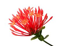 Fresh Red Ixora Flowers on White Background. Beautiful Flower, Group of Fresh Red Ixora Flowers with Green Leaves Isolated on A White Background stock photography