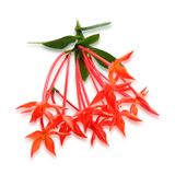 Fresh Red Ixora Flowers on White Background. Beautiful Flower, Group of Fresh Red Ixora Flowers with Green Leaves Isolated on A White Background royalty free stock photography